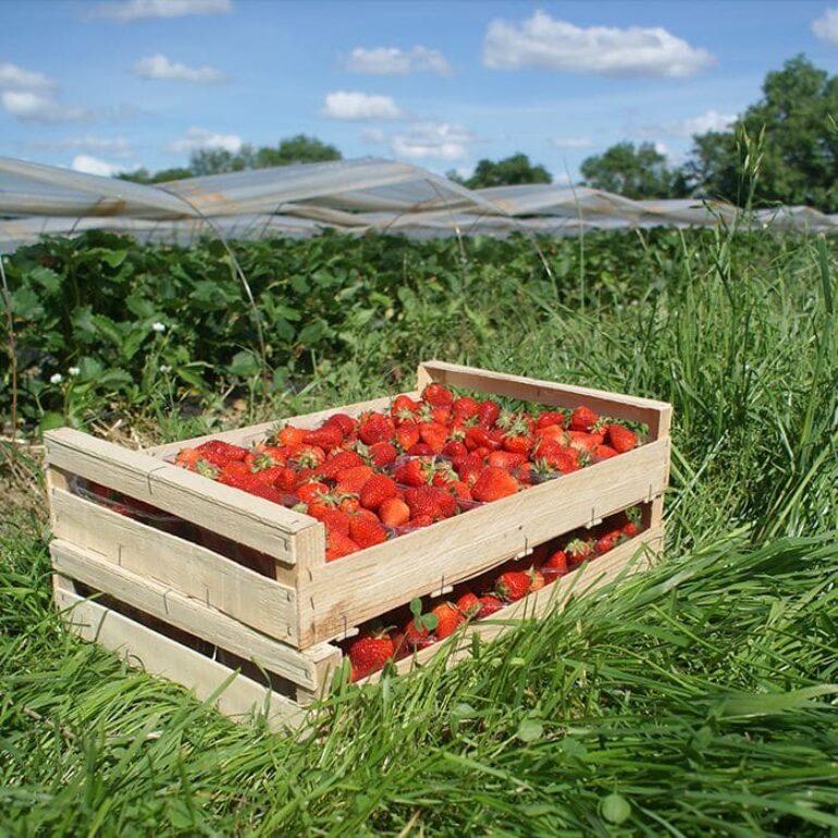 Un cageot de fraise- Lavernose Cueillette- Midi Cueillette-SEA TERRADOC