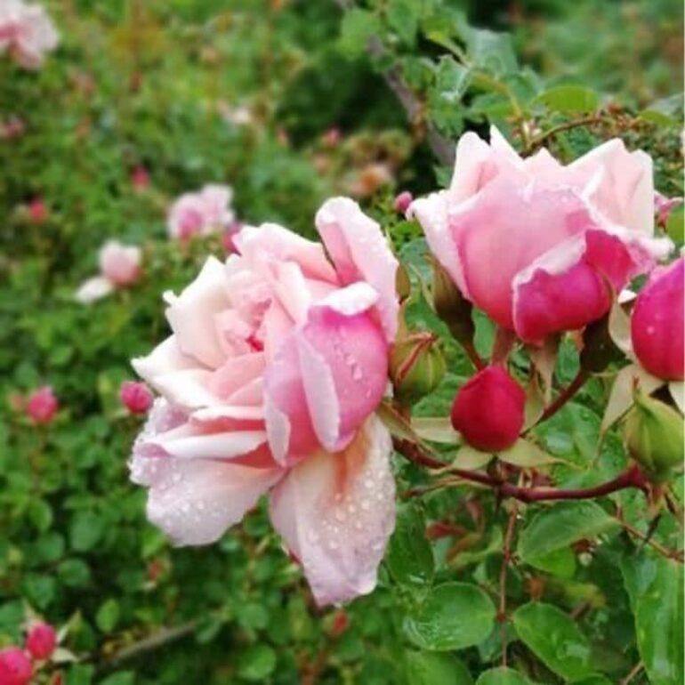 Rose et boutons de roses-Hélène Toporowski